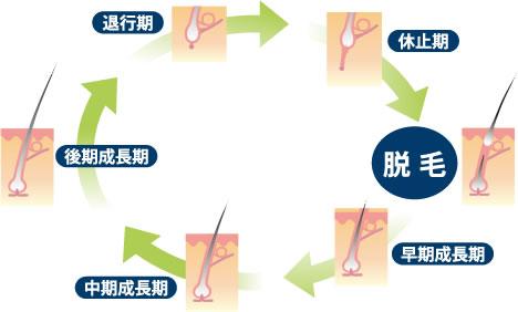 ヘアサイクル正常:AGA